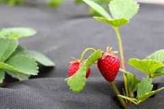 Strawberry groving in garden Stock Photos