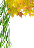 Autumn maple leaves and willow branch on a white background Royalty Free Stock Images