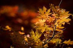 Autumn, maple leaves. Yellow maple leaves, autumn, fall scene, close-up, branch of tree Stock Photography