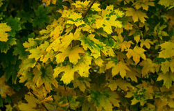 Autumn maple leaves yellow with  spots Stock Images