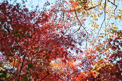 Autumn Maple Mixed Color Leaves in Ueno-Park Tokyo Lizenzfreies Stockbild