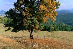 Autumn maple on mountain landscape Royalty Free Stock Photography