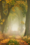 Autumn maple oak alley in the fog. Stock Photo