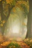 Autumn maple oak alley in the fog. Stock Photo