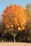 Autumn maple. With orange leaves Royalty Free Stock Photo