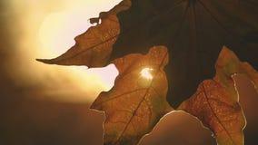 Autumn maple park stock video