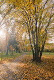 Autumn maple park with yellow leaves. And road Stock Photo