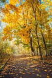 Autumn maple park with yellow leaves. And road Stock Photography