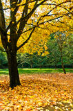 Autumn Maple and Pile of Leaves. Trunk and branches of maple tree with golden autumn leaves. Fallen leaves piled up around base of tree.  Green trees and grass Royalty Free Stock Images