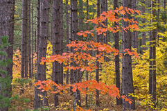 Autumn Maple in Pines. Hiawatha National Forest, Michigan's Upper Peninsula, USA Stock Photography