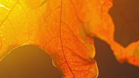 Autumn maple in the rays of the setting sun stock footage