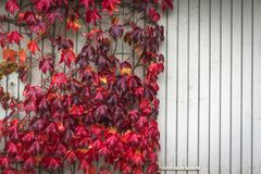 Autumn maple in red colors climbing a wooden wall. With bright planks in the fall royalty free stock image