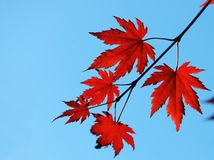 Autumn maple red leaves. In sunlight royalty free stock photography