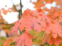 Autumn maple red leaves. Stock Photography