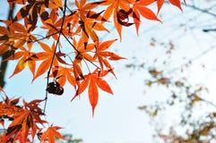 Autumn Maple Red Leaves nel parco di Ueno Tokyo Fotografie Stock Libere da Diritti