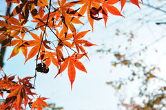 Autumn Maple Red Leaves no Tóquio do parque de Ueno Fotos de Stock Royalty Free