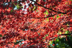 Autumn Maple Red Leaves Under Sunligt in Ueno Park Tokyo Royalty Free Stock Photography