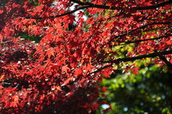 Autumn Maple Red Leaves Under Sunligt in Ueno Park Tokyo Stock Photo