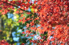 Autumn Maple Red Leaves Under Sunligt in Ueno Park Tokyo Stock Images