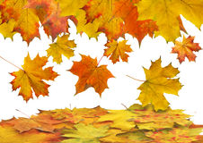 Autumn maple slips Stock Image