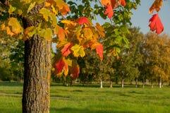 Autumn Maple Tree Royalty-vrije Stock Foto's