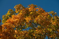 Autumn Maple Tree Lizenzfreies Stockbild