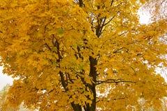 Autumn Maple Tree Arkivfoto