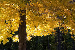 Autumn Maple Tree Stock Photo