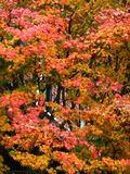 autumn maple tree 2 Royalty Free Stock Photography