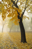 Autumn Maple Tree. Autumn Morning Fog in Park with Yellow Maple Tree Royalty Free Stock Photos