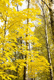Autumn Maple Tree royalty-vrije stock afbeeldingen