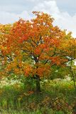 Autumn maple tree Stock Image