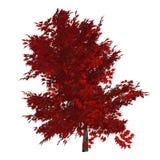 Autumn Maple Tree Royaltyfria Foton