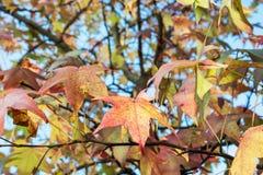 Autumn Maple Tree Photos libres de droits