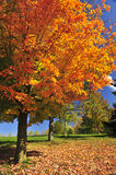 Autumn maple tree Royalty Free Stock Photography