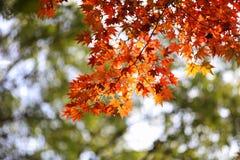 Autumn Maple Tree Photo stock