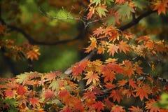 Autumn Maple Tree Images libres de droits