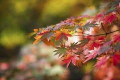 Autumn Maple Tree Image stock