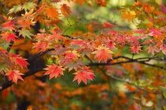 Autumn Maple Tree Images stock