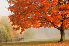 Autumn Maple Tree. Beautiful autumn maple tree in a park Royalty Free Stock Photography