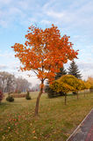 Autumn maple tree. Royalty Free Stock Photos