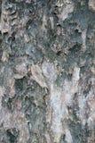 Autumn maple tree  Bischofia javanica Royalty Free Stock Image