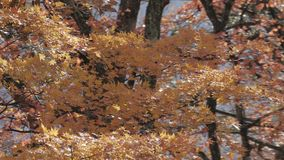 Autumn maple tree blowing in the wind and leaf falling stock footage