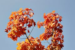 Autumn maple tree on blue. Sky background Stock Photos