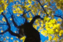 Autumn maple tree blurred  monocle. Against blue sky Stock Photography