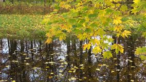 Autumn maple tree branch over the pond. Russia stock video footage