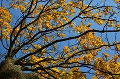 Autumn maple tree stock image