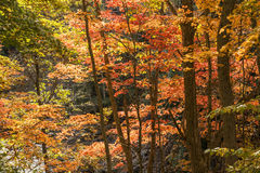 Autumn maple tree Royalty Free Stock Images