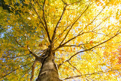 Autumn Maple Royalty Free Stock Images