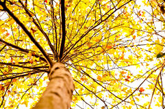 Autumn Maple Tree Stock Photography